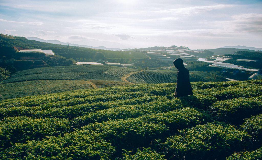 Theevelden groene thee